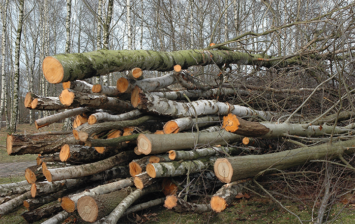 Koku zāgēšana un celmu frēzēšana