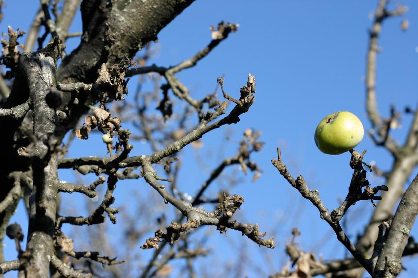 Augļu koku vainagu veidošana